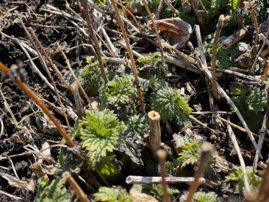これはnettle, 毎年1番に芽吹く強いherbです。
